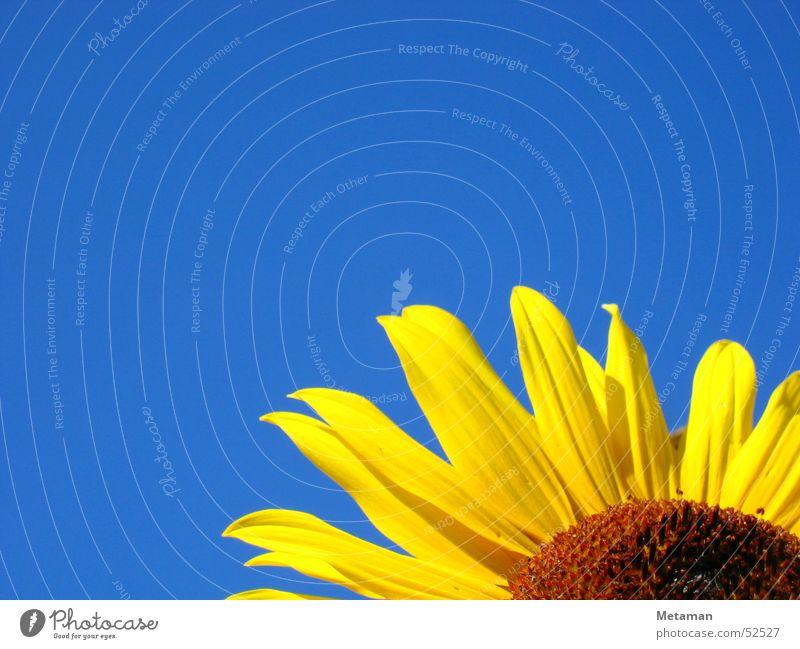 Nature Sky Blue Summer Yellow Garden Warmth Lighting Fresh Physics Sunflower