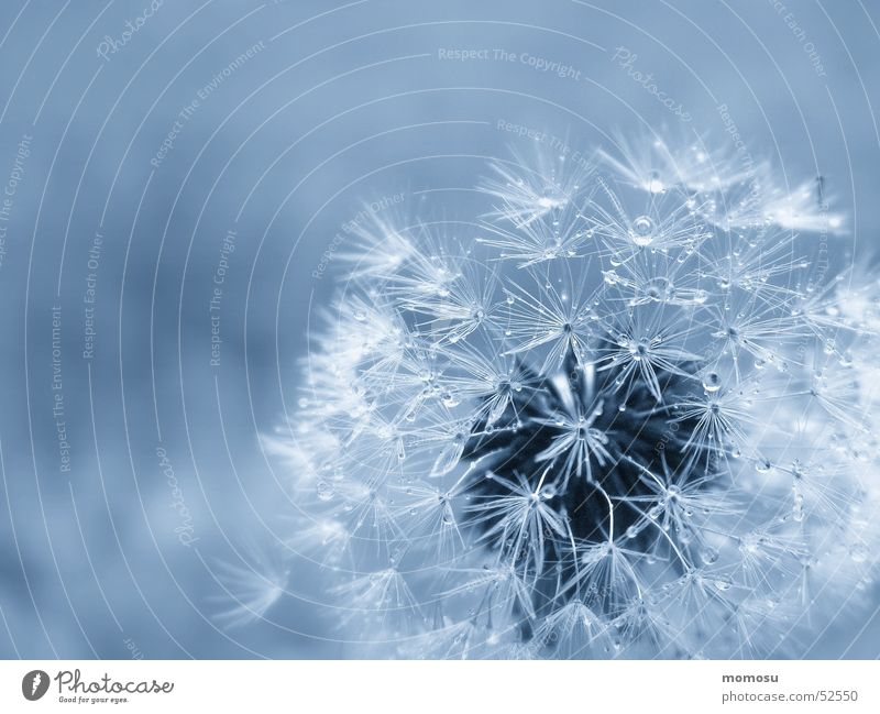 blown in blue Light pust flower dandelion seed shine Detail Blue