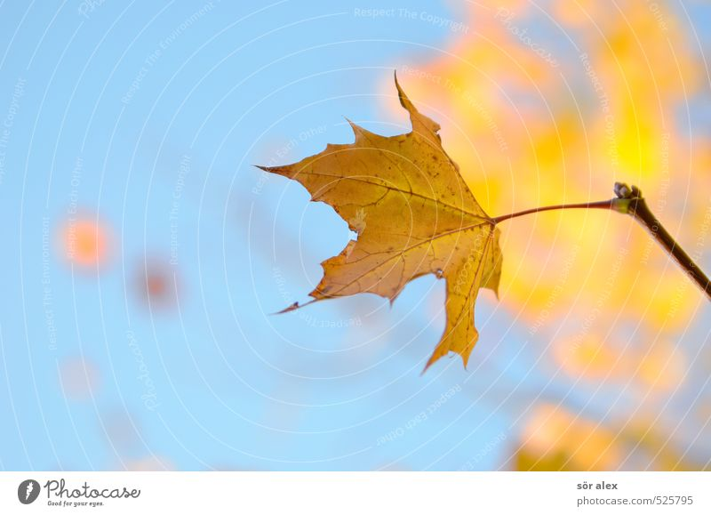 annual rhythm Environment Nature Plant Sky Autumn Climate Beautiful weather Leaf Maple leaf Yellow Orange Endurance Unwavering Longing Loneliness Exhaustion