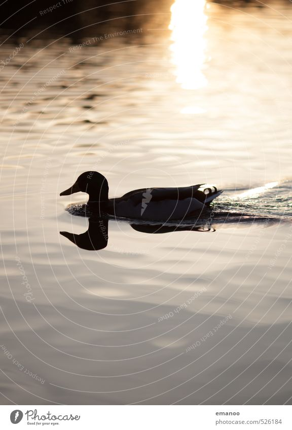 mirror ducklet Nature Animal Water Sun Climate Weather Pond Lake Bird 1 Swimming & Bathing Wet Natural Wild Soft Gold Black Duck Lake Constance Mirror image