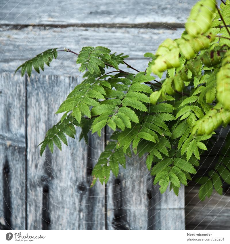 mountain ash Plant Summer Tree Wall (barrier) Wall (building) Facade Wood Gray Green Life Nature Simple Wooden board Old Patina Background picture Rawanberry