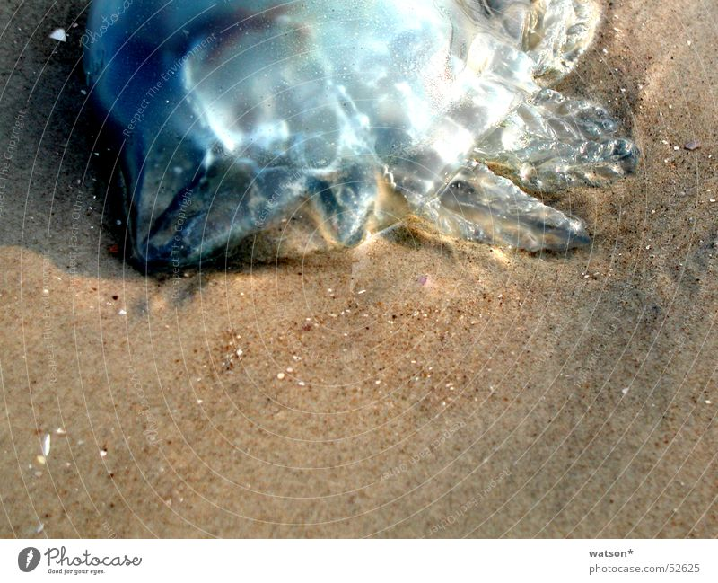 jellyfish Jellyfish Ocean Beach Smoothness Grain Animal Living thing Sand Death
