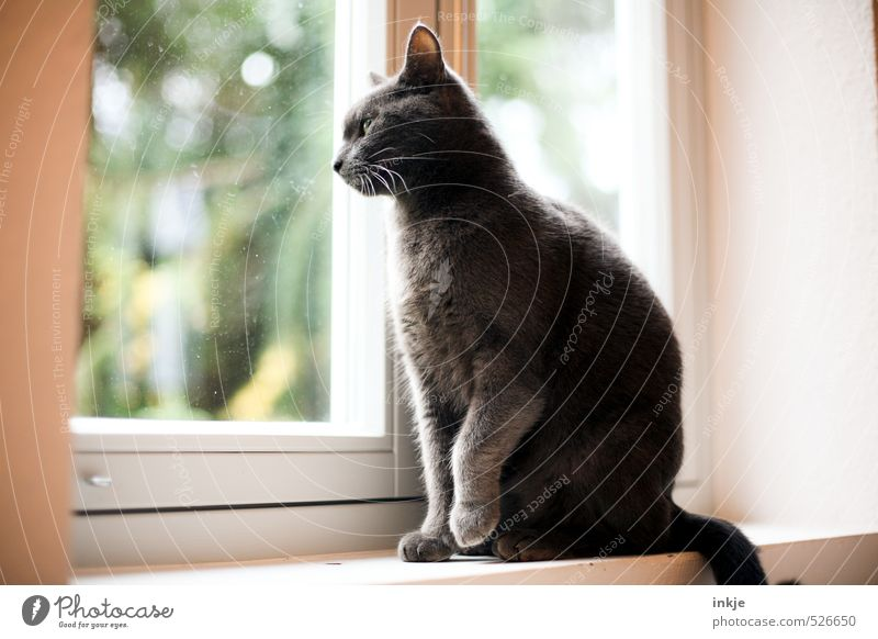 a new day begins Lifestyle Living or residing Flat (apartment) Room Window board Window pane Animal Pet Cat Domestic cat 1 Observe Crouch Looking Sit Wait