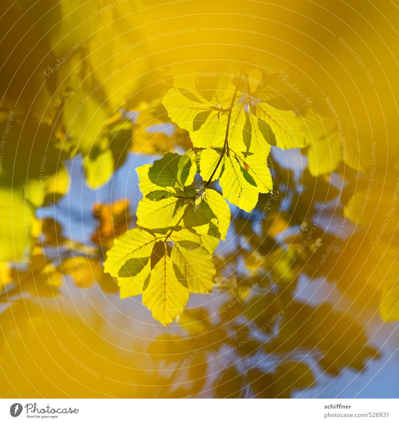 In the fall, back then. Environment Nature Sun Sunlight Autumn Beautiful weather Plant Tree Leaf Blue Yellow Gold Green Illuminate Bright Colours Autumn leaves