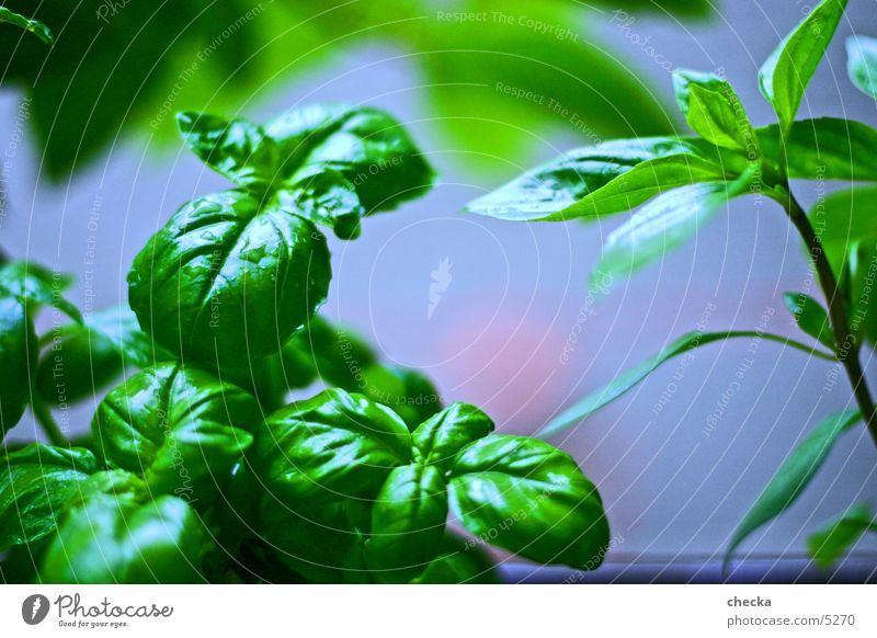 basil Basil Kitchen Cooking Green Healthy herbs Vegetable Nutrition