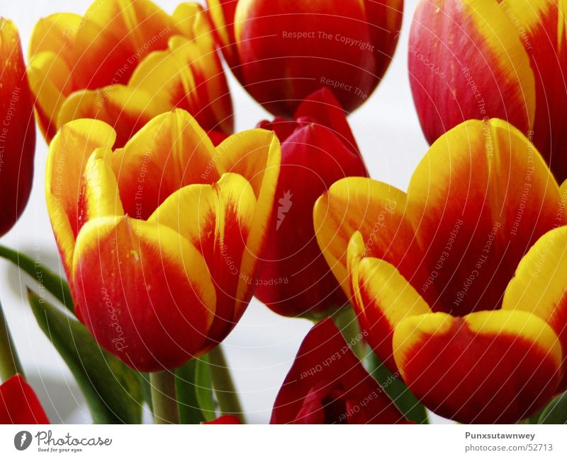 Tulips red-yellow Flower Red Yellow Plant