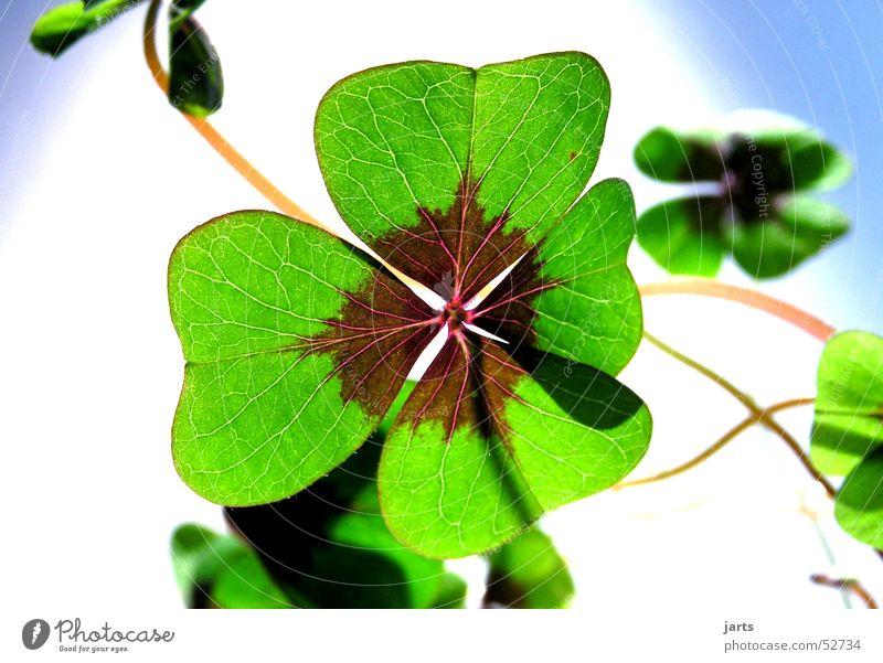 Green Plant Flower Joy Life Religion and faith Happy Hope Longing Clover Cloverleaf Popular belief Leaf Four-leaved