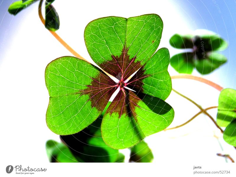lucky clover Cloverleaf Green Flower Popular belief Hope Religion and faith Longing Four-leaved Joy Happy Plant Life jarts