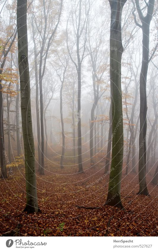 Cloud forest II Environment Nature Landscape Plant Autumn Fog Tree Beech tree Beech wood Forest Esthetic Creepy Natural Brown Gray Sadness Misty atmosphere Dawn