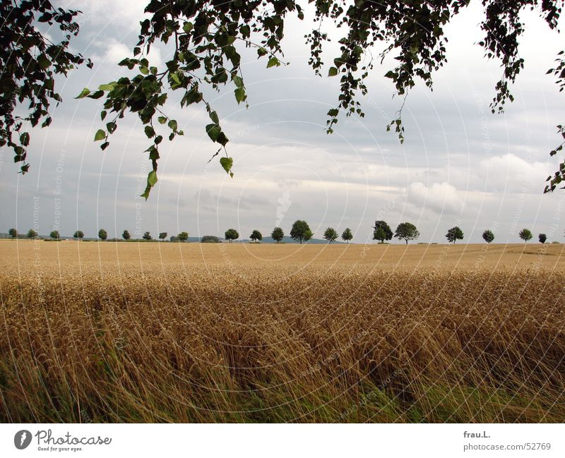Nature Summer Tree Leaf Landscape Calm Field Grain Harvest Safety (feeling of) Home country Cornfield Avenue Wheat Birch tree Lower Saxony