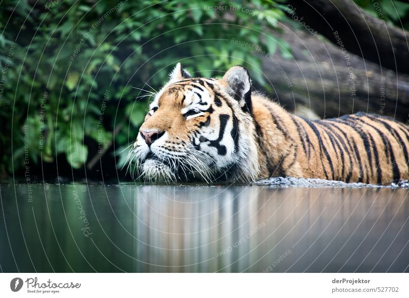 Animal Dark Swimming & Bathing Wild animal Threat Pelt Zoo India Aggression Famousness Tiger Whisker Land-based carnivore Animal protection Big cat Wild cat