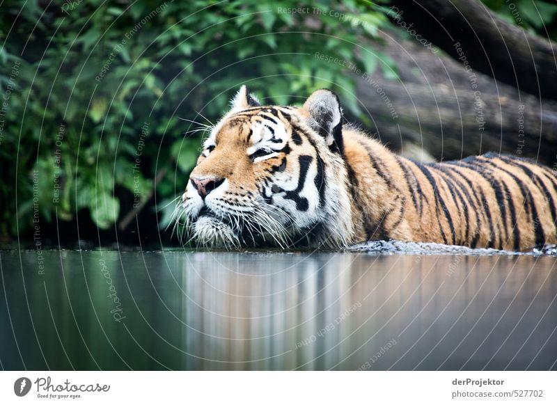 At eye level. Animal Wild animal Pelt Zoo 1 Aggression Threat Famousness Dark Tiger Wild cat Water Swimming & Bathing Land-based carnivore Big cat India Whisker