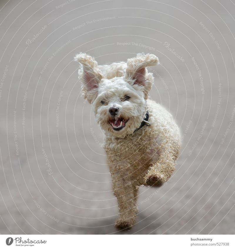 flying ears Joy Leisure and hobbies Animal Pet Dog 1 Movement Walking Running Cool (slang) Dirty Happiness Happy Funny Cute Gray White Love of animals Effort