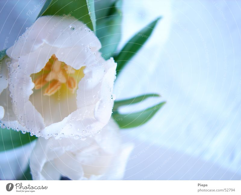 one-of-ten Colour photo Interior shot Close-up Copy Space right Elegant Mother's Day Nature Drops of water Spring Flower Tulip Blossom Garden Blossoming Fresh