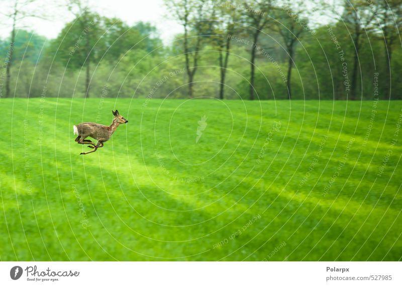 Deer on the run Eating Life Hunting Safari Summer Nature Landscape Animal Sky Grass Park Meadow Forest Fur coat Running Feeding Jump Free Friendliness Wild