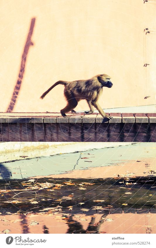monkey Animal Zoo Monkeys Baboon 1 Walking Bridge Reflection Colour photo Exterior shot Animal portrait
