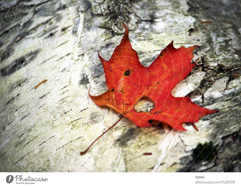 The last embers Environment Nature Autumn Plant Tree Leaf Birch tree Log Maple tree Maple leaf Tree bark Forest Sadness Grief Fatigue Loneliness