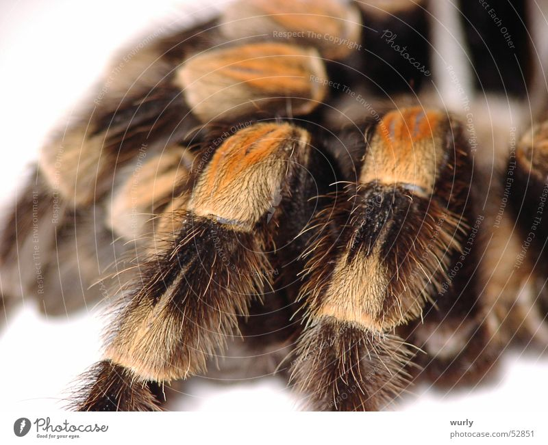 red knee Spider Brown Insect Yellow Soft Fear Macro (Extreme close-up) Panic Gooseflesh pussy Legs Wooly Smooth