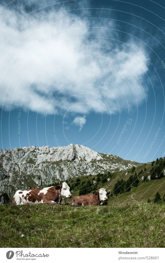 Qüe and mountains - typical Bavaria Vacation & Travel Sky Clouds Summer Tree Meadow Forest Hill Rock Alps Mountain Peak Animal Farm animal Cow 2 Relaxation