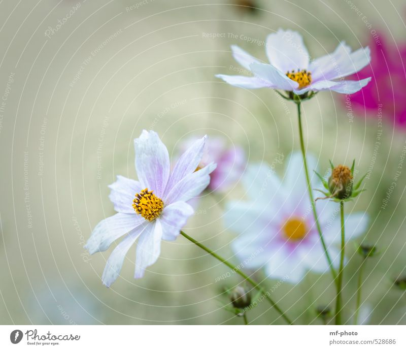 cosmos Nature Plant Summer Autumn Flower Blossom Cosmos Green Pink White Colour photo Deserted Morning