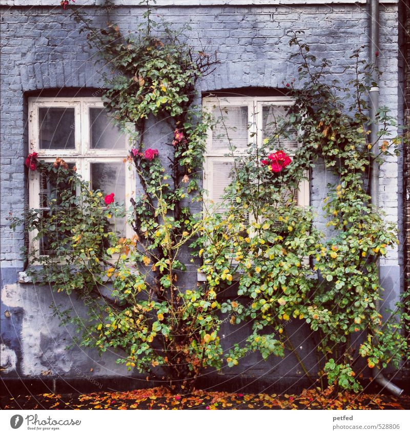 Domestic views III Architecture Autumn Bushes Rose Town Old town House (Residential Structure) Facade Window Door Eaves Wood Brick Thorny Blue Yellow Green
