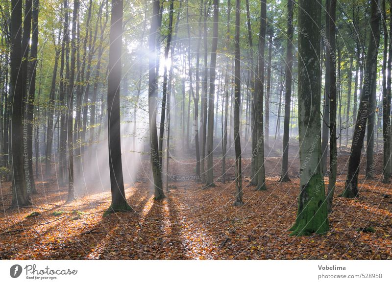 Sunbeams in the forest Nature Landscape Sunlight Autumn Fog Tree Forest Blue Brown Green White Moody Hope Belief Sadness Beam of light sunny Autumnal
