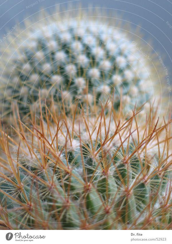 Mountain Hill Cactus Thorn Thorn