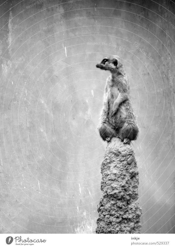 Sleep soundly. I'll stand guard. Hill Rock Animal Wild animal Meerkat Observe Looking Wait Curiosity Cute Emotions Dedication Altruism Solidarity Responsibility