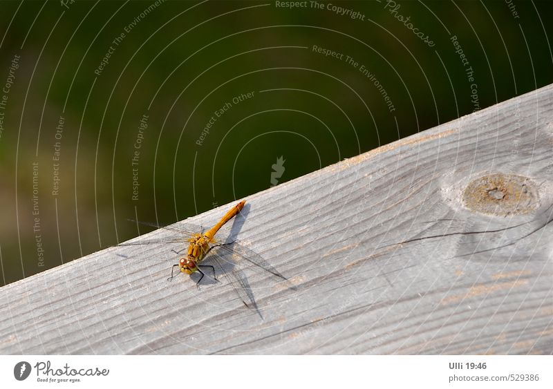 Eye to eye. . . . . . Summer Animal Garden Deserted Terrace wooden rail Wing Dragonfly Insect 1 Observe Sit Authentic Small Near Curiosity Cute Smart Speed