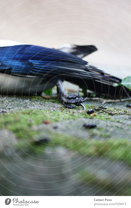 drain away Animal Wild animal Dead animal Bird Wing Claw Black-billed magpie Passerine bird Animal foot Authentic Blue Death Feather Transience Paradise Pain