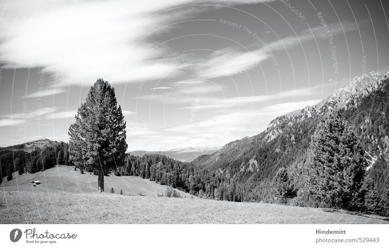 Plant | Tree Summer Summer vacation Meadow Forest Alps Mountain Peak Alpine pasture Stand Sharp-edged Gigantic Large Infinity Tall Round Soft Gray Black White