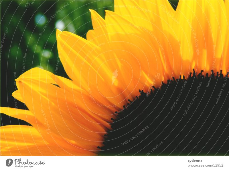 Nature Flower Plant Summer Yellow Colour Blossom Sunflower Blossom leave