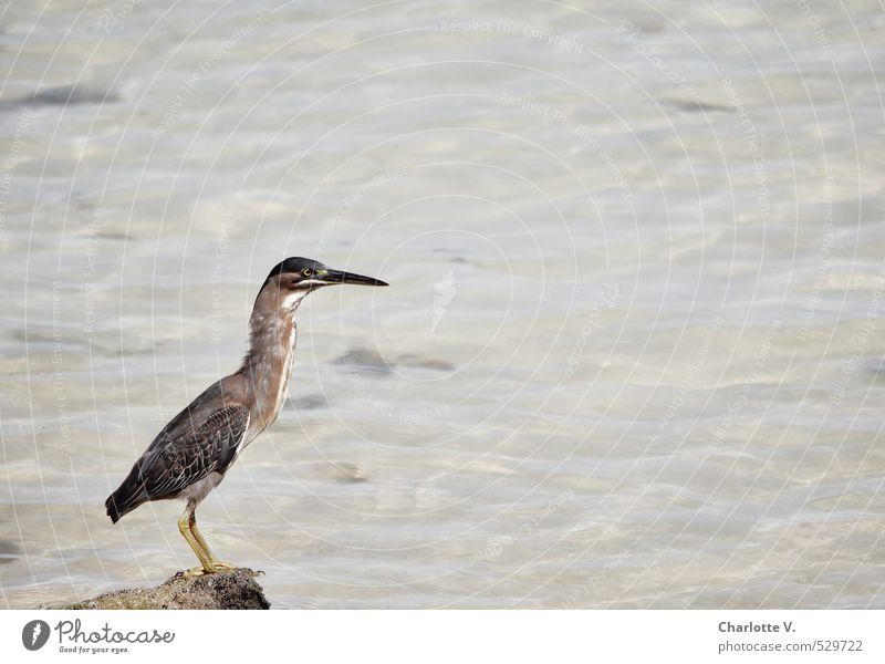 wary position Nature Animal Water Beautiful weather Ocean Indian Ocean Wild animal Bird Heron 1 Stone Observe Crouch Looking Sit Stand Wait Elegant Exotic Brown