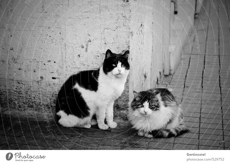 piper Town Wall (barrier) Wall (building) Animal Cat Animal face Pelt 2 Pair of animals Wait Street cat Istanbul Prowl Black & white photo Exterior shot