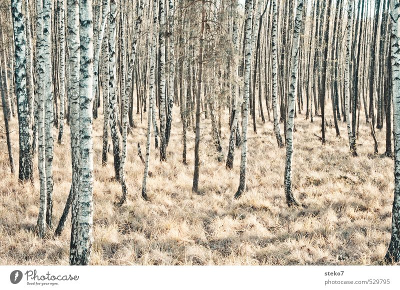 alien Autumn Winter Tree Birch wood Birch tree Forest Cold Brown Black White Loneliness Uniqueness Nature Perspective Symmetry Transience Subdued colour