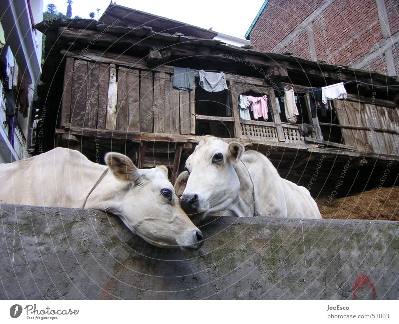 manali cows loving each other Harmonious Far-off places Environment Animal Cow Pair of animals Kissing Love Together Idyll Affection India Manali Cattle