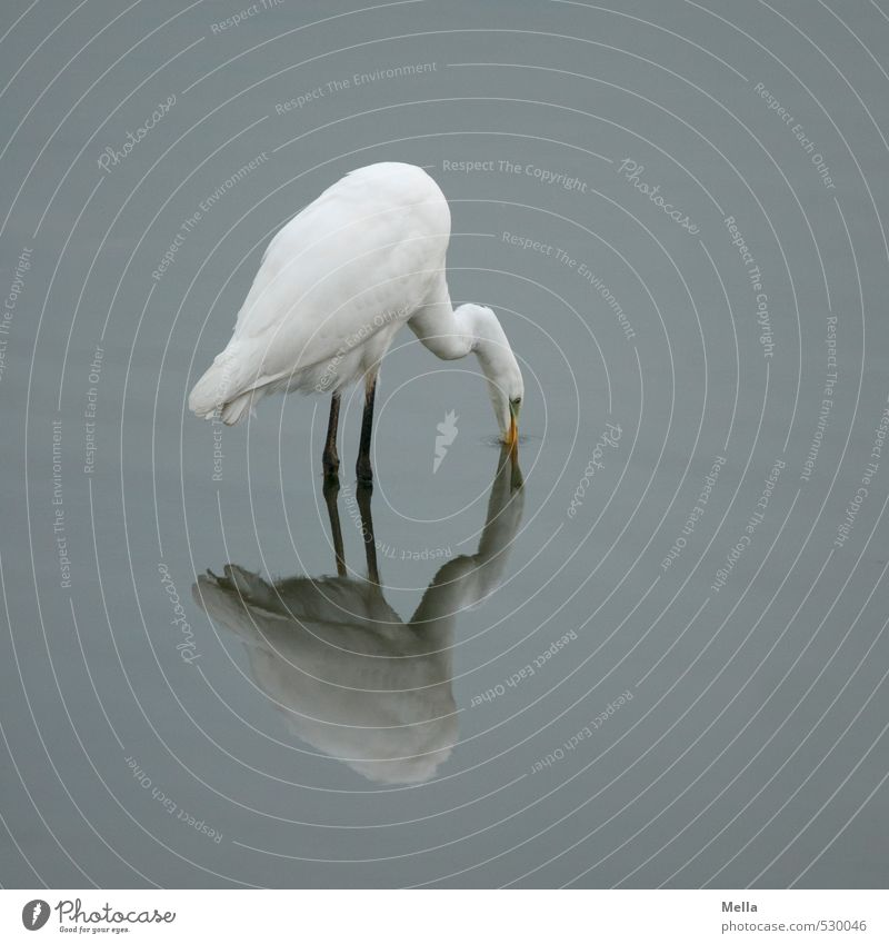 Gotcha! Environment Nature Animal Water Pond Lake Wild animal Bird Heron Great egret 1 Catch Stand Natural Gloomy Gray Dive Reflection Colour photo