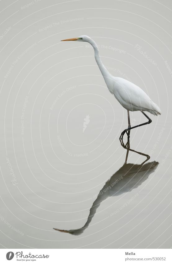 Nature White Water Animal Environment Gray Lake Natural Going Bird Wild animal Gloomy Stand Thin Long Pond