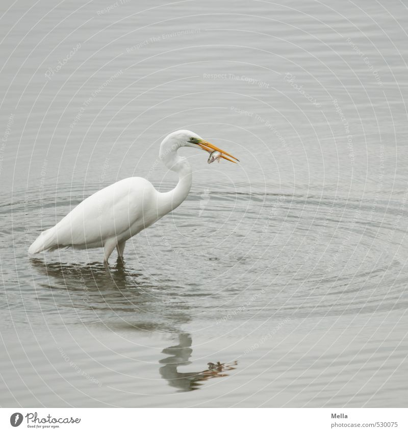 Well, meal! Environment Nature Animal Water Pond Lake Wild animal Bird Heron Great egret 1 Catch To feed Stand Natural Gray Appetite Survive Prey Hunt for prey