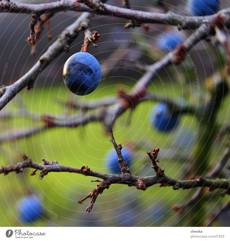 Nature Green Blue Fruit Bushes Twig