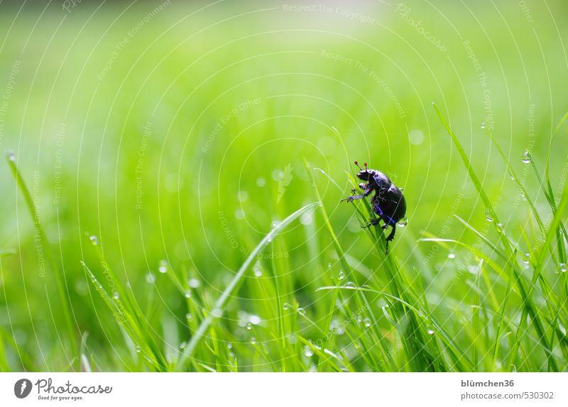 cul-de-sac Animal Beetle Insect dung beetle 1 Crawl Walking Natural Round Blue Green Joie de vivre (Vitality) Spring fever Optimism Curiosity Ease Nature