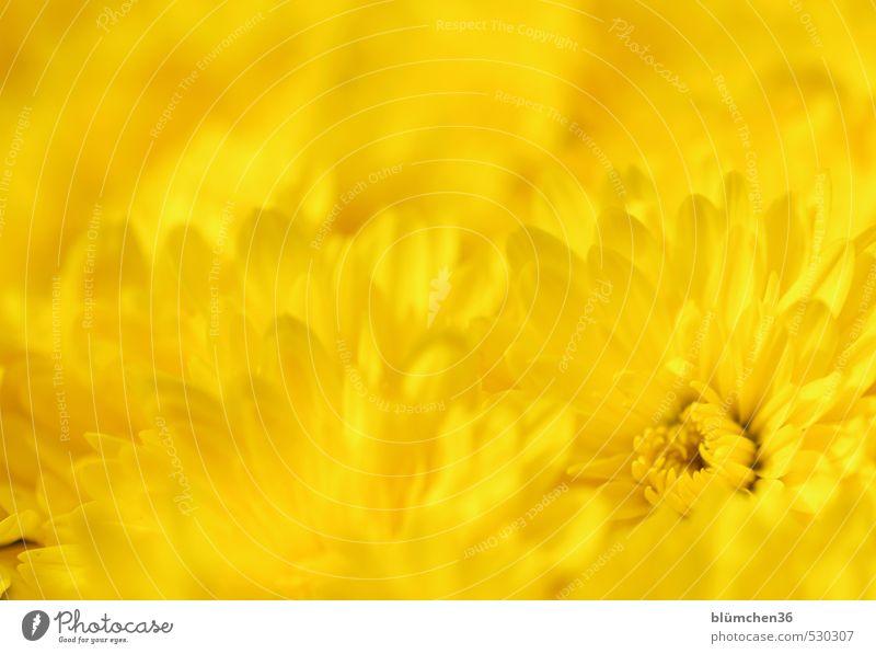 Beautiful Colour Plant Summer Flower Yellow Love Autumn Blossom Natural Moody Glittering Elegant Illuminate Fresh Simple