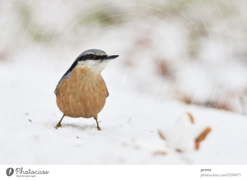 Christmas nuthatch Environment Nature Animal Winter Snow Wild animal Bird 1 Cute Brown White Christmas & Advent Eurasian nuthatch Star cinnamon biscuit