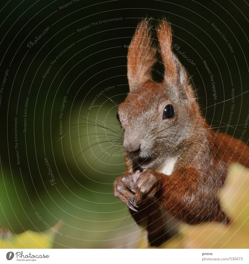 portrait Environment Nature Animal Autumn Beautiful weather Brown Green Squirrel Head Colour photo Exterior shot Deserted Copy Space left Day