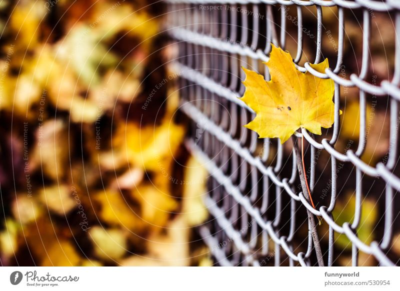 leaf at wire Nature Plant Earth Autumn Leaf Maple tree Garden Wire netting fence Metal Faded Old Sharp-edged Tall Gloomy Under Yellow Loneliness Death Grief