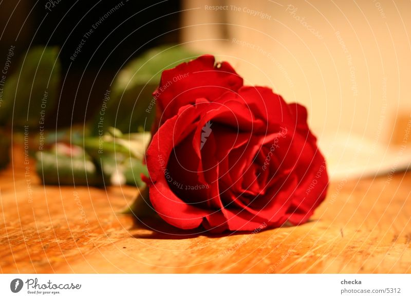 Beautiful Red Flower Blossom Leisure and hobbies Rose Blossoming Joie de vivre (Vitality) Desire Valentine's Day