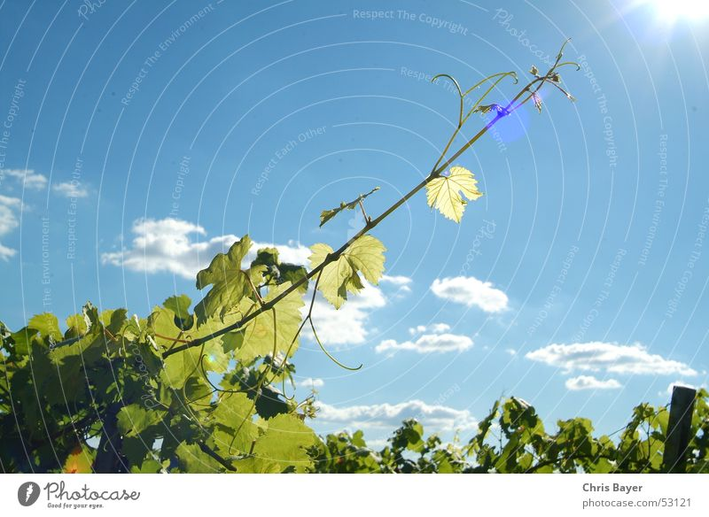 Sky Sun Clouds Growth Vine Tendril Vineyard Franconia Wine growing