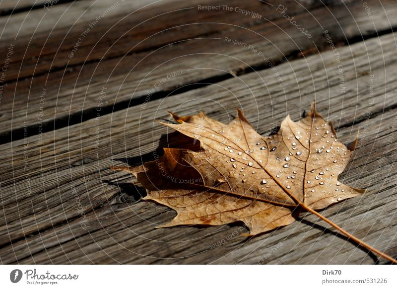 After the shower Autumn Rain Leaf Maple leaf Autumn leaves Canada Lanes & trails Footbridge Joist Wooden board Water Drop Drops of water Dew Glittering Lie