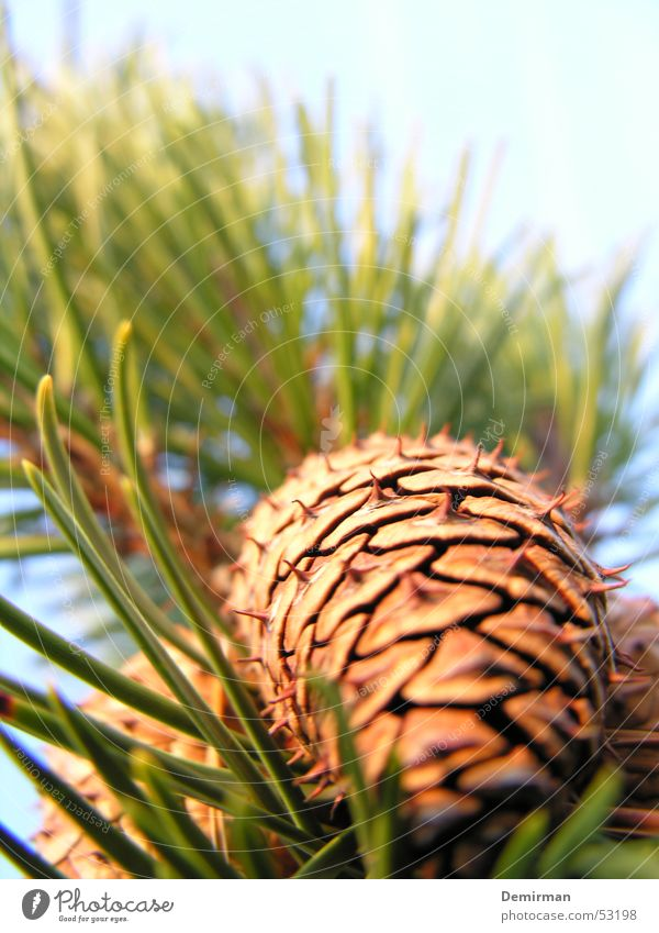 tenons Green Tree Fir needle Cone Sun Sky Fir tree