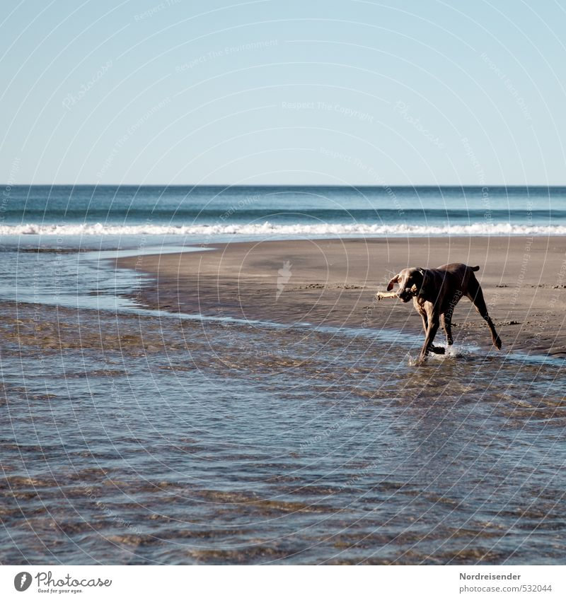 sandpiper Life Well-being Adventure Far-off places Freedom Summer Beach Ocean Sand Water Beautiful weather Island Animal Dog Swimming & Bathing Fresh Blue Brown